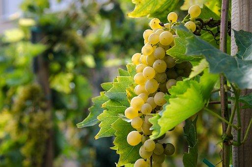 White Wine, Wine, Grape, Grapes, Vine, Fruit