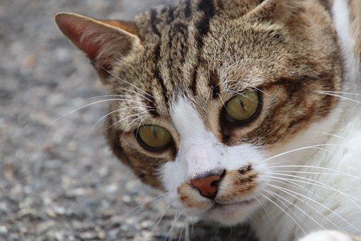 Cats, Tabby, Felines, Portrait, Eyes, Whiskers, Cute