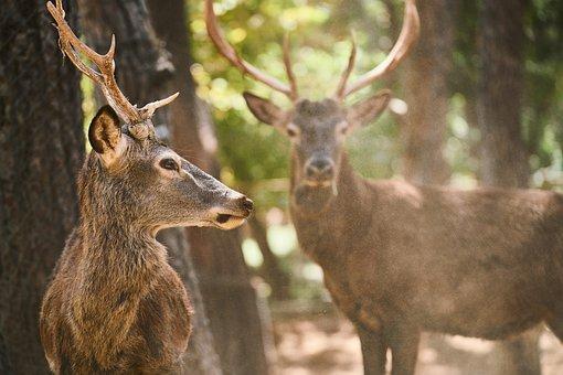 Deer, Horn, Animal, Forest, Nature, Wild, Mammal