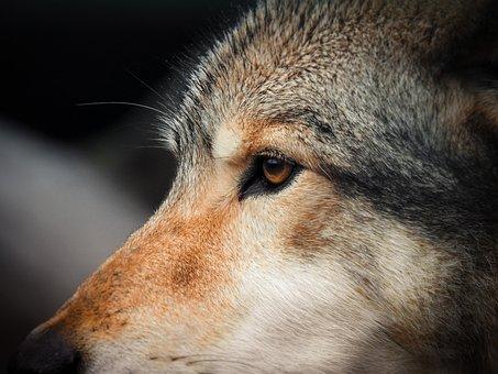 Wolves, Nature, Predator, Animal, Wild, Wildlife
