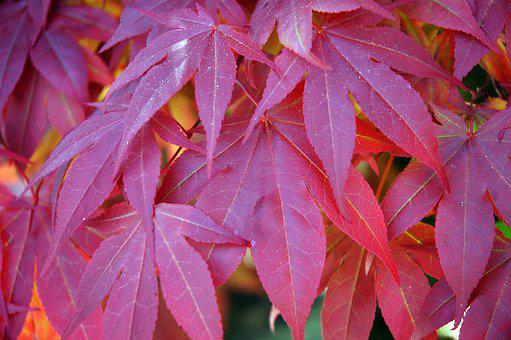Maple, Red, Nature, Leaves, Leaf, Yellow, Season