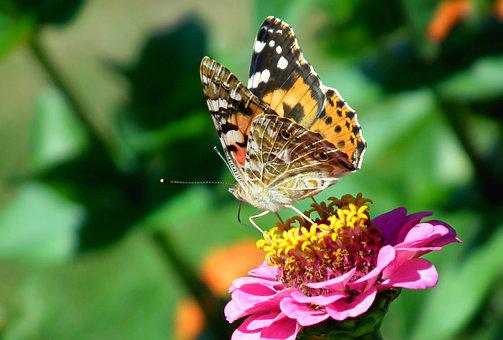 Butterfly, Insect, Flower, Zinnia, Nature, Wings