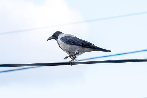 Crow, Bird, Animals, Black, Pen, Plumage, Nature