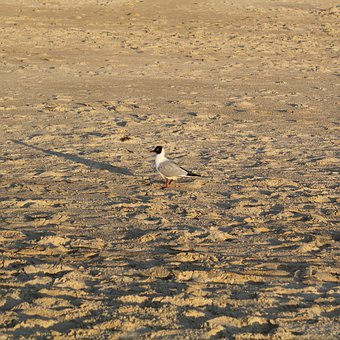 Seagull, Bird, Sand, Beach, Animals