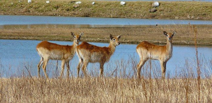 Lechwe, Marsh Antelope, Antelope, Antelope Female