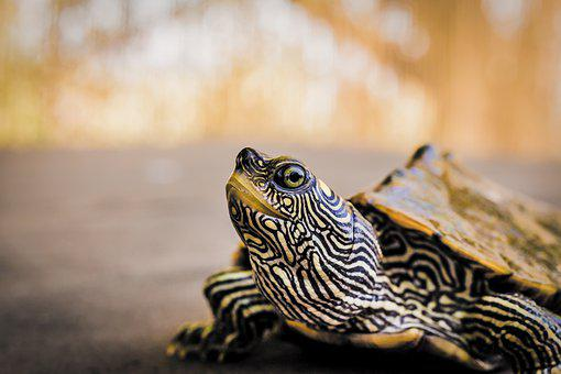 Turtle, Reptile, Shell, Animal, Water, Pond, Armored
