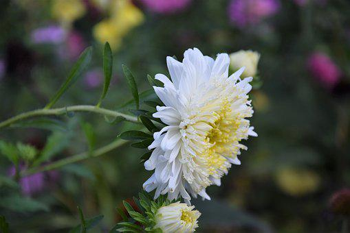 Flowers, Aster, Garden, Autumn, Closeup, Plant, White