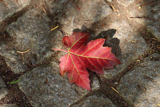 Maple, Fall Foliage, Autumn, Leaf, Leaf Veins, Red