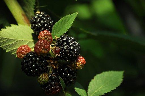 Blackberry, Black Berry, Ripe, Bush, Light, Shadow