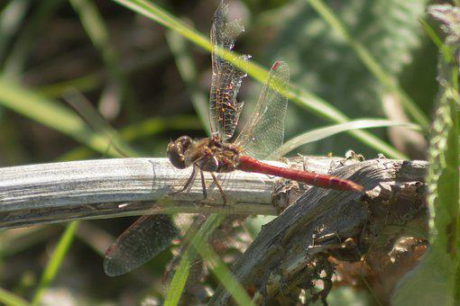 Dragonfly, Insect, Macro, Beetle, Wing, Wings, Blue