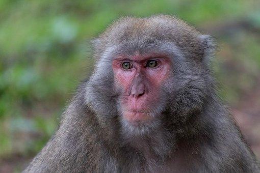 Monkey, Makake, Animal World, Mammal, Face, Eyes, Fur