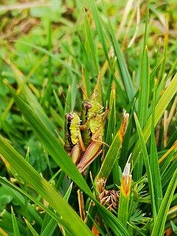 Grasshoppers, Nature, Green, Pairing, Face, Flip, Grass