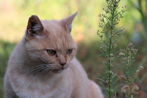 Cats, Felines, Pets, Familiar, Soft, Cute, Beige