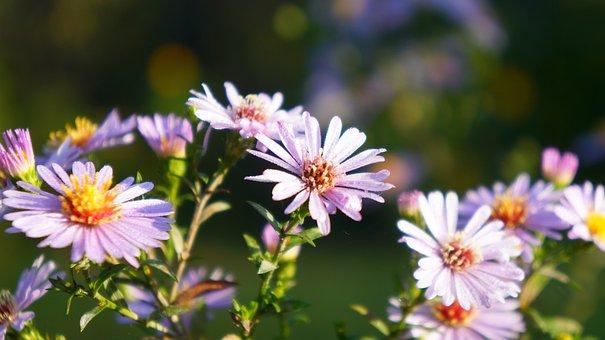 Nature, Plants, Flowers, Astra, Autumn, Garden