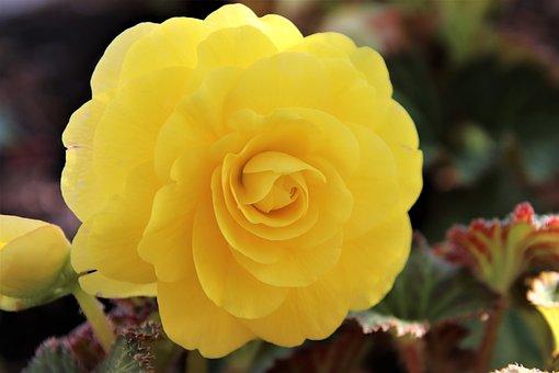 Begonias, Begonias Yellow, The Colour Yellow, Flowers