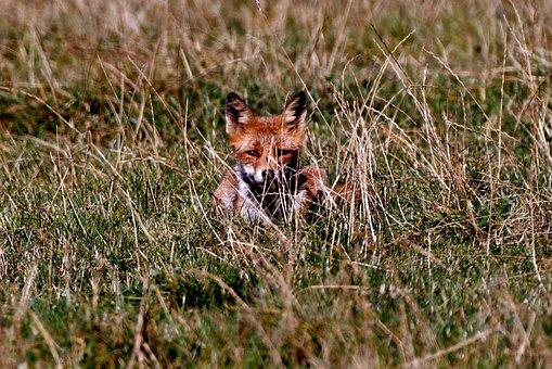 Fox, Predator, Wild, Young, Mammal, Nature, Fauna
