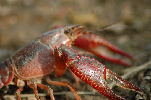 Freshwater Crayfish, Shrimp Killer, Shrimp Of Louisiana