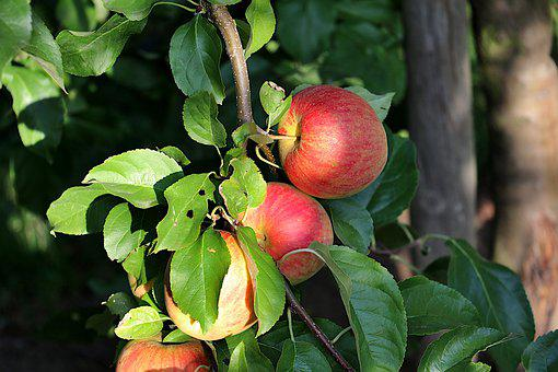 Apple Tree, Orchard, Ripe, Fruit, Red, Fruits