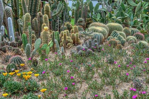 Cactus, Gazanie, Gold Noon, Sandy Soil, Dry Plant