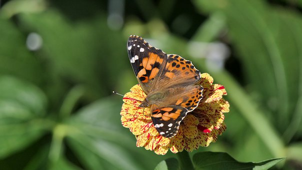 Painted Lady, Butterfly, Insect, Flower, Nature, Summer
