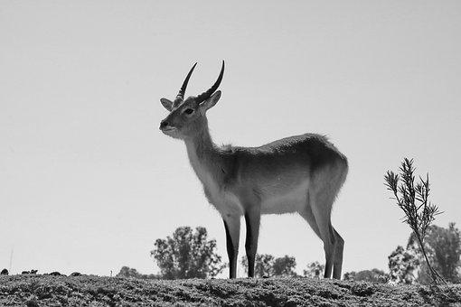 Lechwe, Marsh Antelope, Males, Antelope, Bull