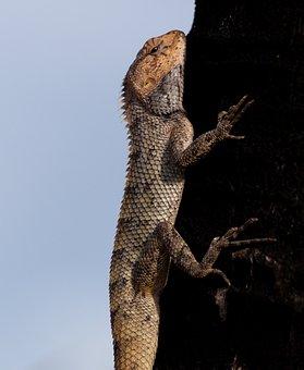 Mauritius Gecko, Mauritius Lizard, Mauritius Reptile