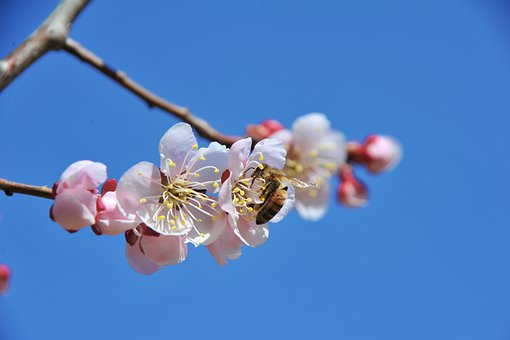 Flowers, Spring, Cherry Blossom, Bee, Insects, Nature