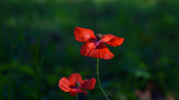 Nature, Plants, Red, Flowers, The Beasts Of The Field