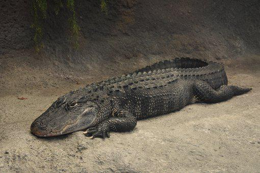 Alligator, Animal, Predator, Reptile, Nature