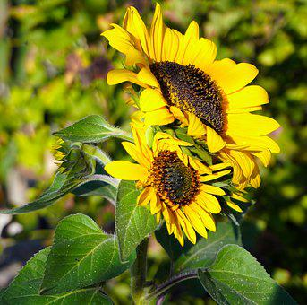 Sunflower, Blossom, Bloom, Yellow, Flower, Nature