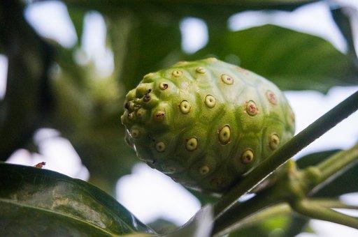 Fruit, Tree, Noni, Plant, Nature, Morinda Citrifolia