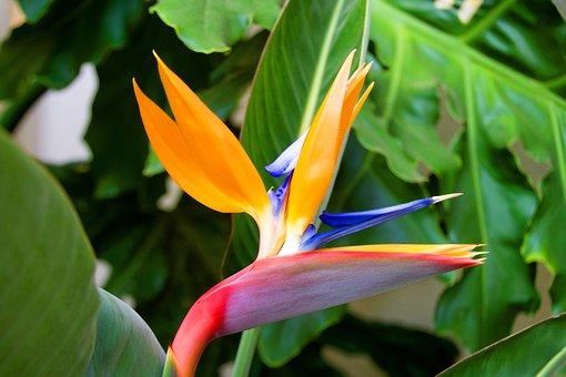 Oiseau De Paradis, Strelitzia, Flower, Fl, Garden