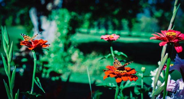 Painted Lady Butterfly, Painted Lady, Butterfly, Nature