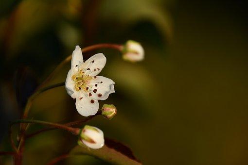 Pear Tree Flower, Pear Tree Flowering In September