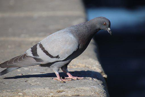Pigeons, Colombidés, Birds, Shades Of Grey, Familiar