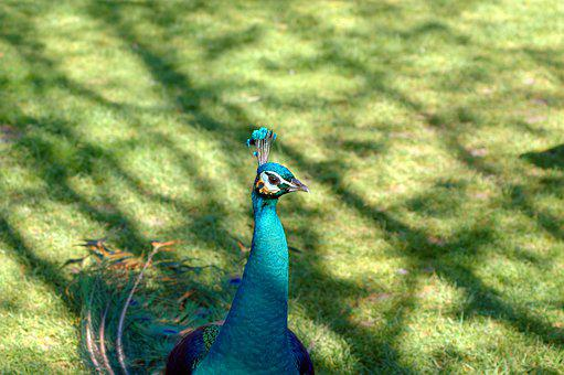 Peacock, Blue, Bird, Feather, Animal, Colorful, Plumage