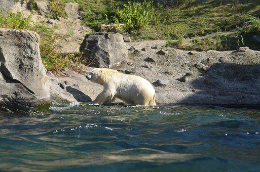 Polar Bear, Water, Rock, Zoo