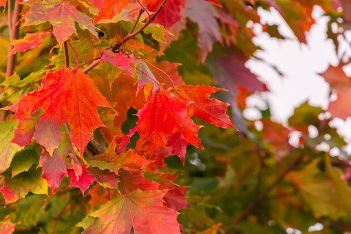 Maple, Leaves, Autumn, Sheet, Nature, Tree, Red