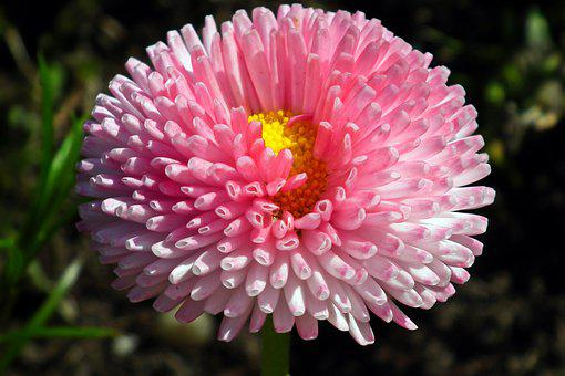 Daisy, Flower, Colored, Spring, Garden, Nature, Pink
