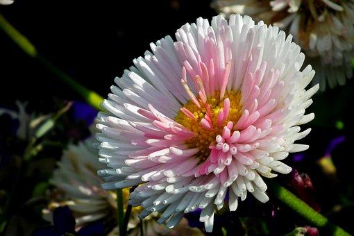 Daisy, Flower, Spring, Garden, Nature, The Petals