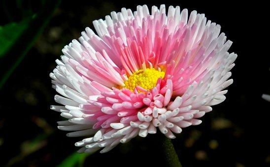 Daisy, Flower, Spring, Garden, Nature, Pink, The Petals