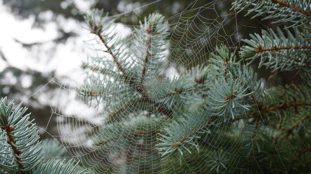 Web, Nature, Evergreen, Tree, Bridge, Insect, Spider