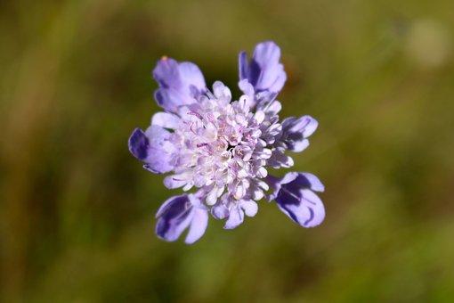 Wildflower, Purple Wildflower, Violet Wildflower