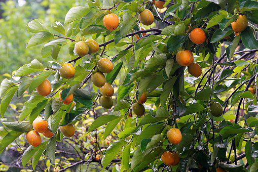 Persimmon, Flower Apple, Autumn, Fruit, Wood, Tree