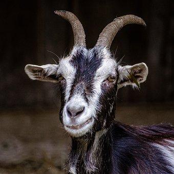 Goat, Horn, Black White, Ruminant, Animal, Herbivore