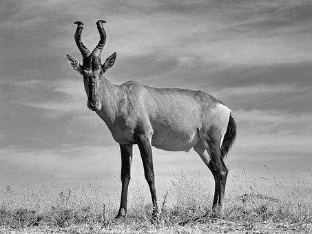 Red Hartebeest, Hartebeest, Males, Antelope, Mammal
