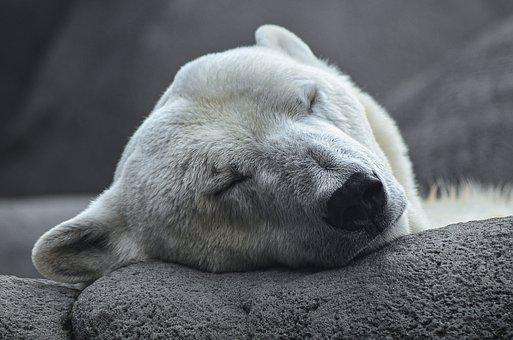 Polar Bear, Arctic, Predator, Young Animal, Zoo, Bear