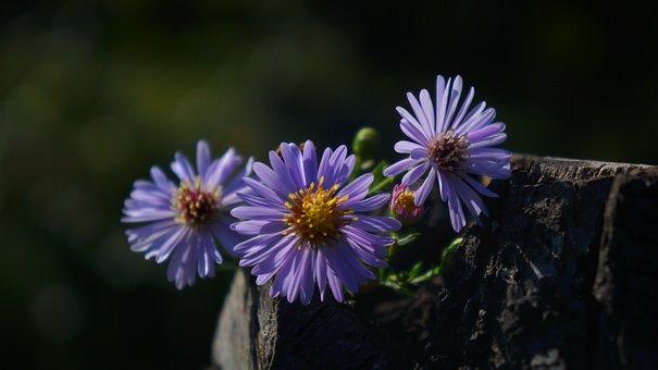 Nature, Plants, Flowers, Autumn, Astra, Flourishing