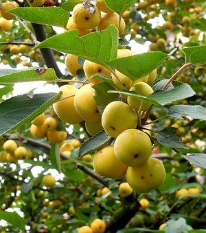 Tree, Branch, Fruits, Sweet, Autumn