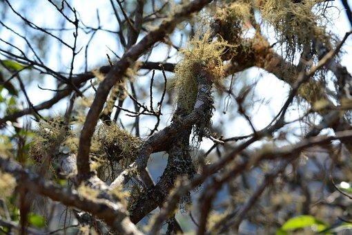 Old Man's Beard, Usnea, Botany, Tree, Biology, Growth